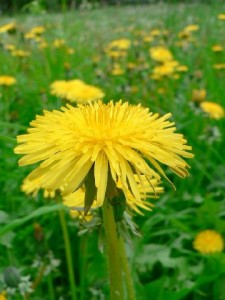 Taraxicum is used for some forms of IBS